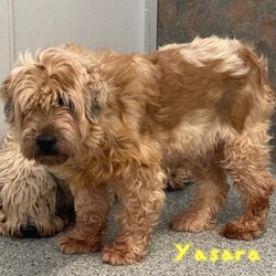 Adopt a dog:Yasara/Wheaten Terrier/Female/Senior,Yasara is a 9 year old Wheaton Terrier who was a breeder release. She is not socialized and would be what is considered a project dog, she will take lots of time and patience to come out of her shell. We currently can barely touch them if at all, she has had no training house or obedience and does not know what a leash or a collar even are. She would require a home with no kids and a fenced in yard, another confident dog in the home would be great for her to learn how to be a dog.