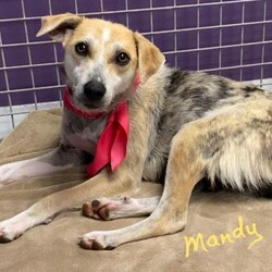Adopt a dog:Mandy/Catahoula Leopard Dog/Female/Young,Meet Mandy! She's a 10 month old catahoula mix sweetheart who was recently a young mama to four little puppies. She's now ready to live the single life and find a forever family of her own! Mandy is very sweet and can be timid around new people, but warms up with gentle kindness and love. She is great with dogs, cats, and kids and she is already potty and kennel trained. She can be a laid-back couch potato, but also likes to run zoomies around the yard. Having a safe fenced yard to relax, run, and play would be ideal but not required. Mandy is still learning to walk on a leash but is catching on fast! Even though she was a young mama, she's still a puppy herself and will need chew toys and lots of exercise in her new home to stay occupied. Mandy is genuine, sweet, affectionate, smart and playful. She will bring a lot of joy to the lucky home who will make her a new family member.    If interested in Mandy, please apply at: AHeinz57.com