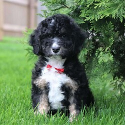 Bear/Male /Male /Mini Bernedoodle Puppy,Say hello to Bear, an adorable Mini Bernedoodle puppy ready to give you lots of puppy kisses! This happy pup is vet checked, up to date on shots and wormer, plus comes with a 1 year genetic health guarantee provided by the breeder. Bear is family raised with children and would make the best addition to anyone's family. To find out more about this perfect pup, please contact Josh & Brenda today!