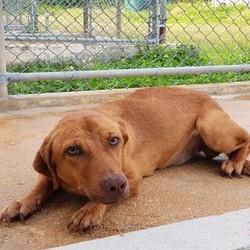 Adopt a dog:Cookie/Affenpinscher/Female/Adult,