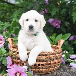 Emma/Female /Female /English Cream Golden Retriever Puppy