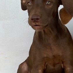 Adopt a dog:Choco/Affenpinscher/Female/Baby,