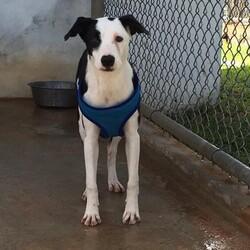Adopt a dog:Pepper/Labrador Retriever/Female/Adult,