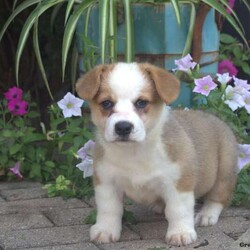 Michelle/Female /Female /Pembroke Welsh Corgi Puppy,Say hello to Michelle! She is a Pembroke Welsh Corgi puppy with a bubbly spirit! This friendly little gal is vet checked and up to date on shots and wormer. She can be registered with the ACA, plus comes with a health guarantee provided by the breeder. To learn more about Michelle and all of her great qualities, please contact the breeder today.