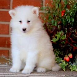 Addison/Female /Female /Samoyed Puppy,Say hello to Addison! This charming Samoyed puppy is cute as can be and can't wait to spoil you with love and attention. Addison is family raised and will fill your home with smiles. She is vet checked and up to date on shots and wormer. She can also be registered with the AKC and comes with a one year genetic health guarantee provided by the breeder! To welcome this puppy into your home please contact Steven & Rebecca today.