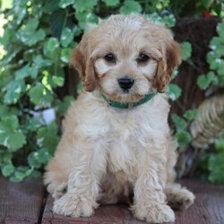 Logan/Male /Male /Cavapoo Puppy,Here comes Logan, an adorable Cavapoo puppy with the sweetest personality! This kissable pup is vet checked, up to date on shots and wormer, plus comes with a health guarantee provided by the breeder. Logan is family raised and loves to romp around in the yard with children! To find out more about this lovable pup, please contact Anna Mary today!