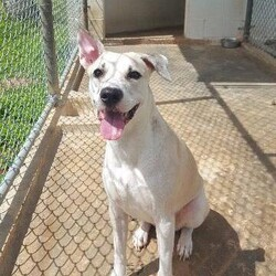 Adopt a dog:Kika/Pit Bull Terrier/Female/Adult,