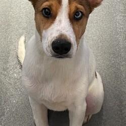 Adopt a dog:Manaus/Australian Cattle Dog / Blue Heeler/Male/Baby,