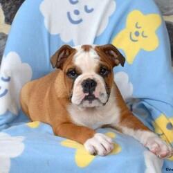 Rocky/Male /Male /English Bulldog Puppy