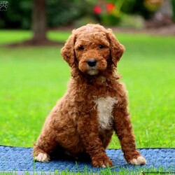 Jaden/Male /Male /Goldendoodle Puppy,Say hello to Jaden, a beautiful Miniature Goldendoodle puppy! This family-raised pup has been checked by a vet, is up to date on vaccinations & dewormer, plus the breeder provides a 6-month genetic health guarantee. Jaden is great with children and has a soft, curly coat. If you are interested in meeting this playful pooch and learning more about adopting him, please contact Samuel & Lena today!
