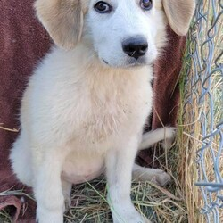 Adopt a dog:Sonya/Great Pyrenees/Female/Baby,Meet Sonya. Born approximately June 2021, she is super cute and sweet and loves everyone she meets. She is inquisitive, bouncy, and fun but also loves to be cuddled.  There is a lot for a puppy to learn so she will need to find a home where someone is very available to her in these early days. She loves the companionship of other animals and requires another dog to act as her mentor as she continues to understand the rules of her new world.  Currently her Foster family is teaching her the difference between her toys and others' prized possessions. This cute little girl is not going to be little for long. Now is the best time to jump in and continue mentoring her. It is going to be so fun watching her fill out and fit into those big paws.  ADOPT HERE: Complete an Adoption Application for your Pyr-fect new family companion at https://gprs.rescuegroups.org/forms/form?formid=6206.  PUPPIES ARE ONLY PLACED IN HOMES WITH YOUTHFUL, PLAYFUL RESIDENT DOGS WHO ARE AT LEAST 50 POUNDS.  Our requirements for puppy adoptions are simple and necessary.  Our puppies are not livestock guardians, they are family pets that live inside of the family home. Puppies must be placed in homes with a youthful, adult resident dog of similar size. This gives the puppy a mentor and a solid foundation for becoming part of the family. Puppies are only adopted to homes with someone at home at least part of the day. If no one is home for 6-8 hours at a time, please do not apply. Preference is always given to those with Great Pyrenees experience. Applicants must have secure, visible fencing and a socialization plan in place. The fastest way to be considered for a puppy is to fill out an application. Adoption is not first come, first served. GPRS and its fosters work diligently to find the right fit for each and every unique dog and puppy. Applicant's personal pets must be current on vaccines & heartworm/flea prevention and be altered.  Adoption fee: $450 (A