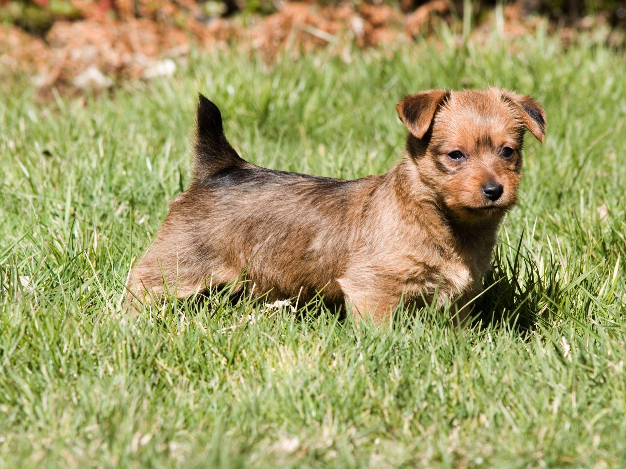Australian Terrier