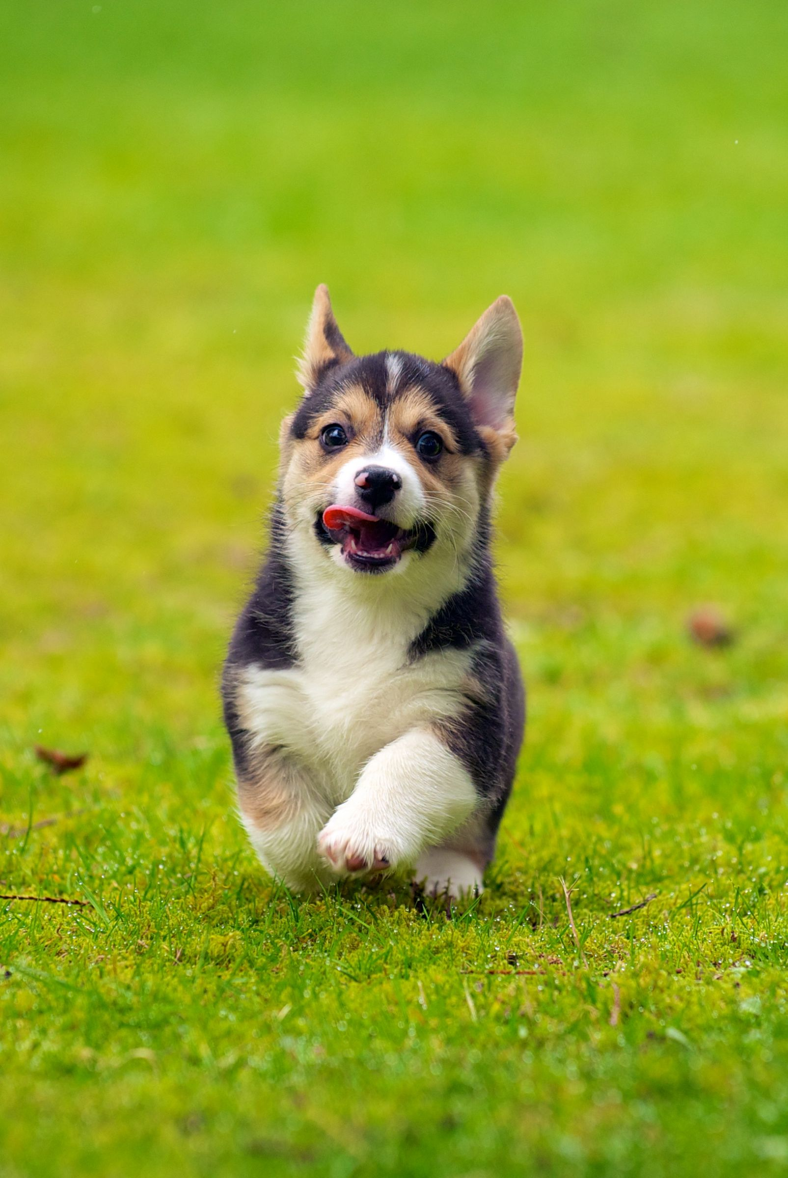 Pembroke Welsh Corgi Information Dog Breeds At Dogthelove
