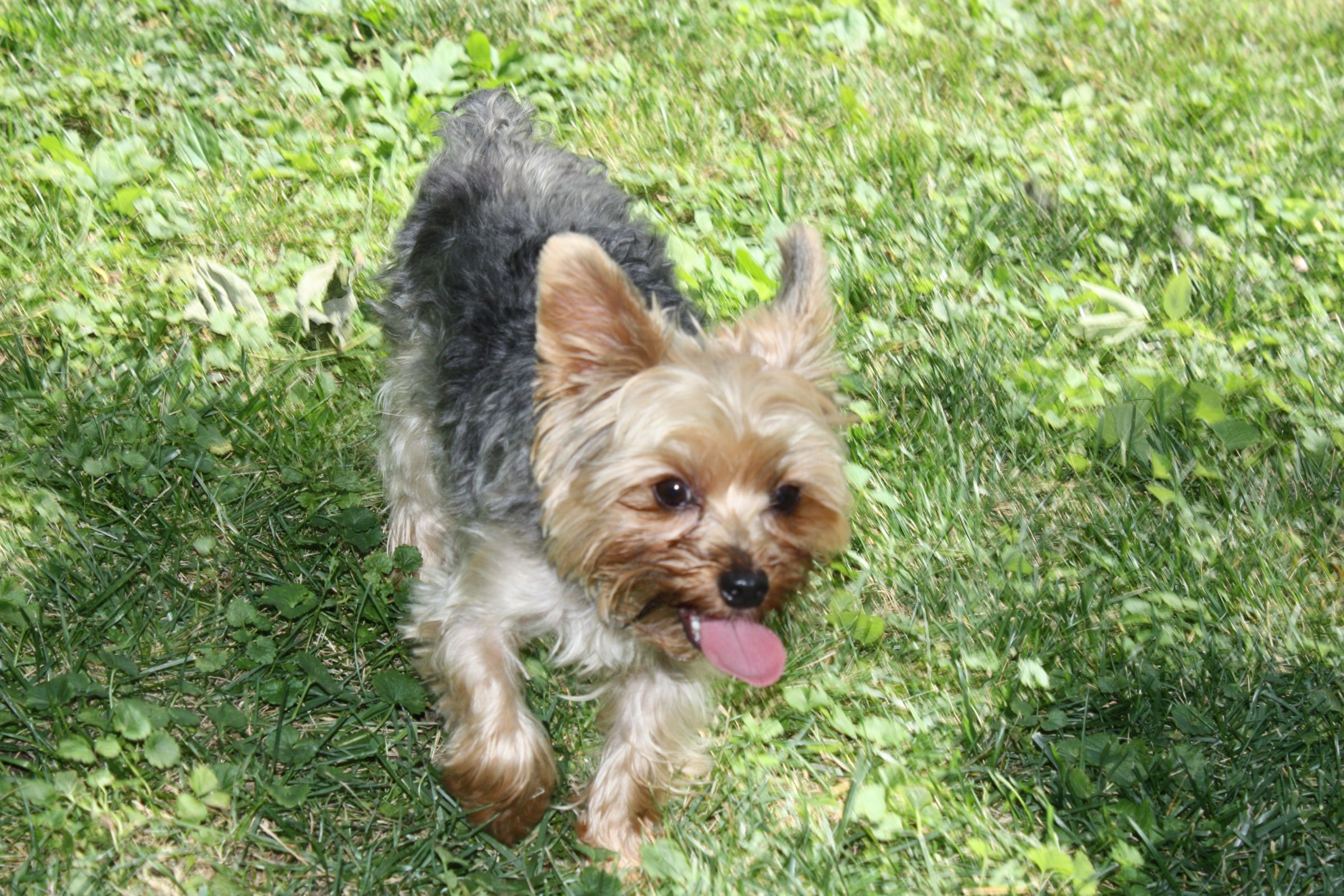 Silky Terrier Information Dog Breeds At Dogthelove
