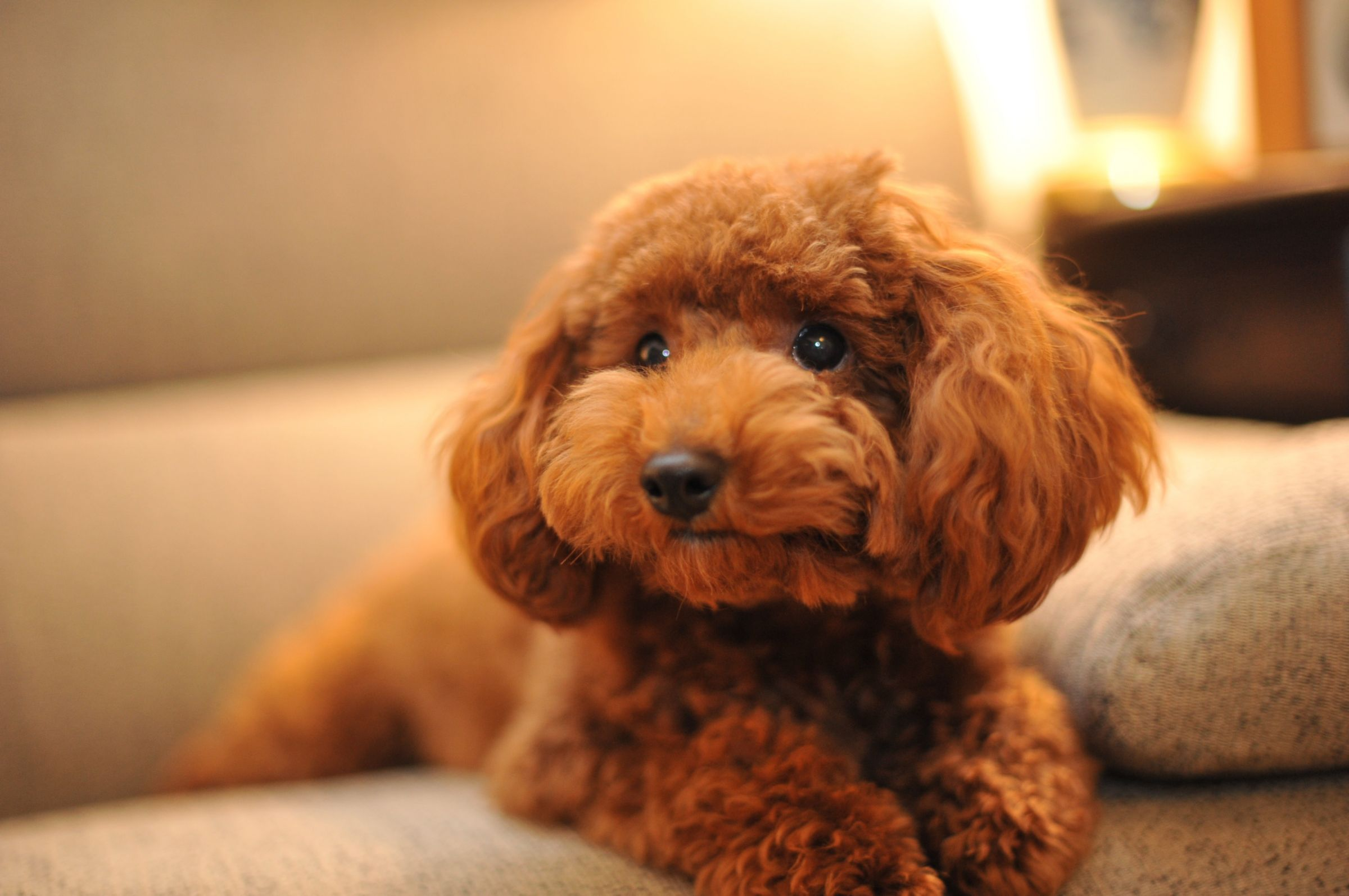 Toy Poodle Information Dog Breeds At Dogthelove