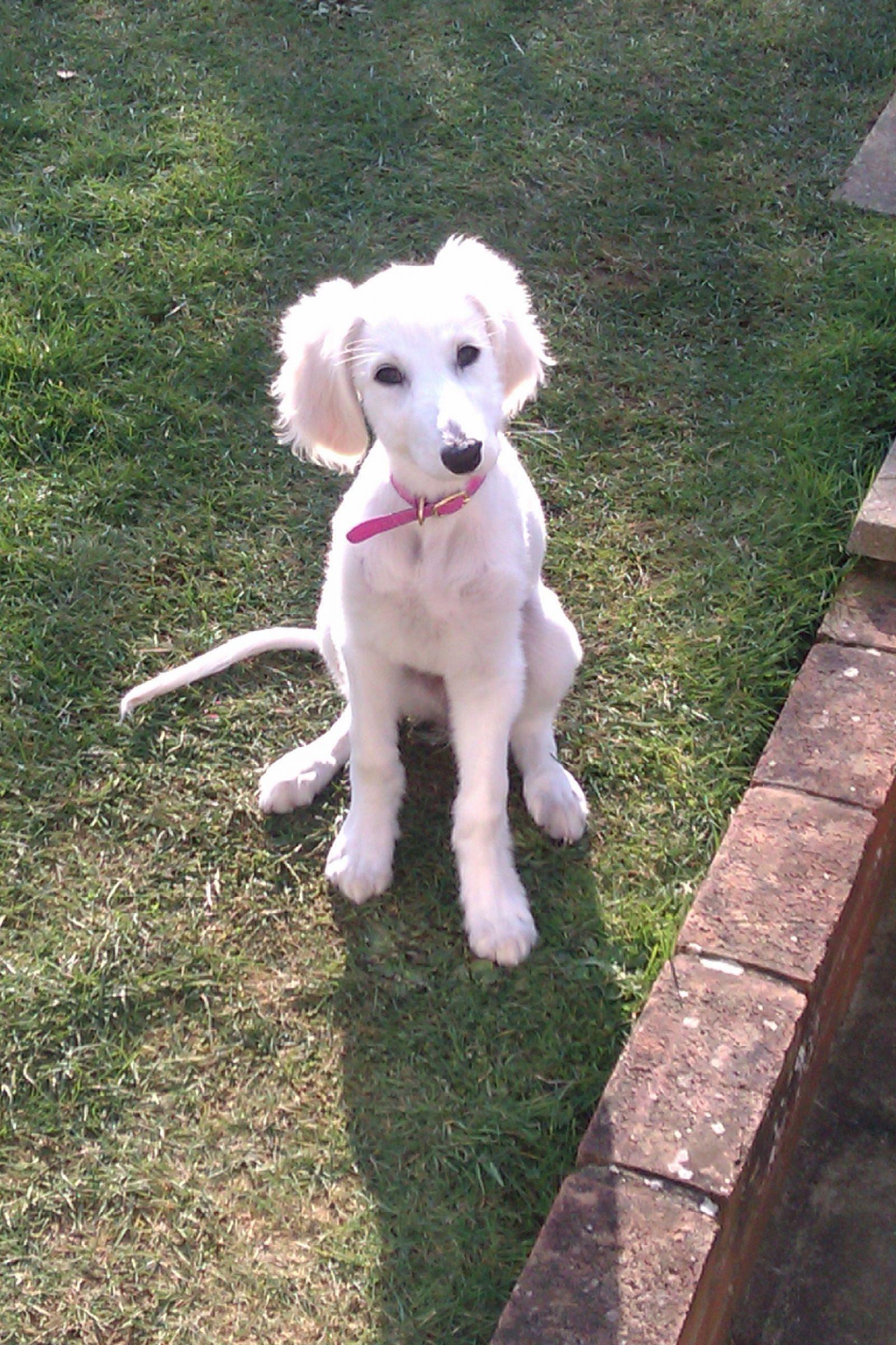 Saluki Information Dog Breeds At Dogthelove